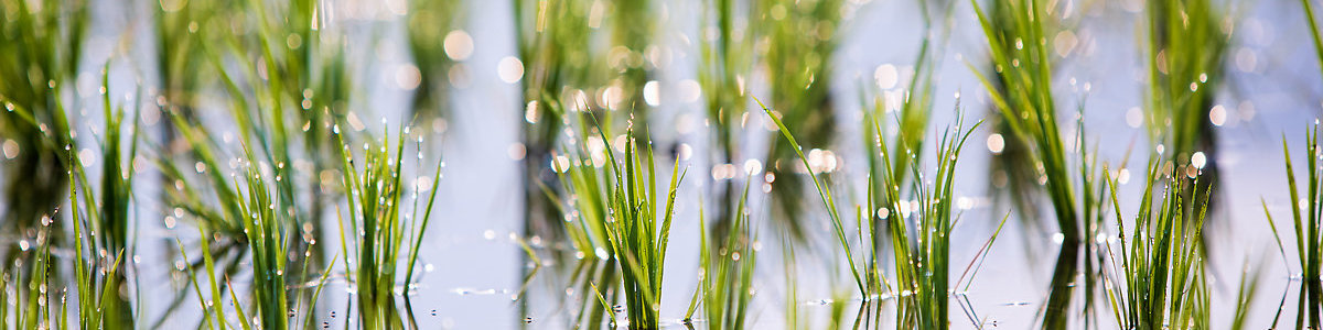 Rice sprouts in paddy field with selective focus backlit with morning sunlight