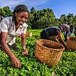 African women plucking tea leaves on a plantation in Kenya.