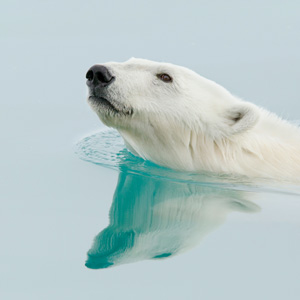 A polar bear swimming.
