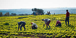 Farmers gathering lettuces in a field in Conversano, Italy.