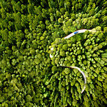Aerial view of a car on a road winding through a pine forest.
