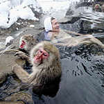 A man relaxes alongside Japanese macaque monkeys in the hot springs at Jigokudani-Onsen, Japan.