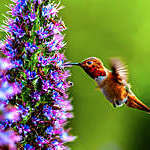 """Hummingbird hovering by a flower sucks the nectar through its long pointed beak."""