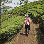 Rear view of a hiker walking through the tea plantations in the Letchi Hills in Munnar, India.