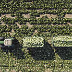 Aerial view of tractor pulling two trailers of cabbages in a field in Sankt Poelten, Austria.