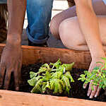 Four hands patting down the earth in a plantation box,