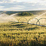 A wheel line irrigation system with directional spray heads waters a golden wheat field.